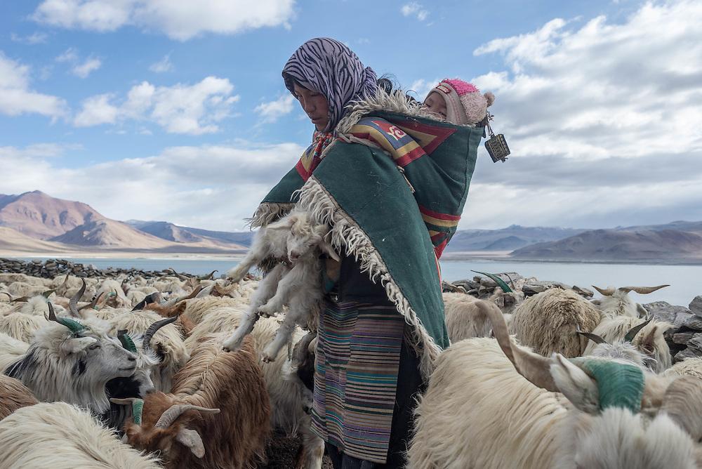 A Tibetan woman with child working with the family goats near Tso Kar lake, Ladakh