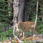 Mountain Lion or Cougar, (Felis concolor) Adult in timber of Bridger mountains in Southwest Montana.  Captive Animal.