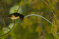 Adult male King of Saxony Bird of Paradise on the vine he uses for displaying to females.