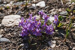 alpenleeuwenbek, Linaria alpina