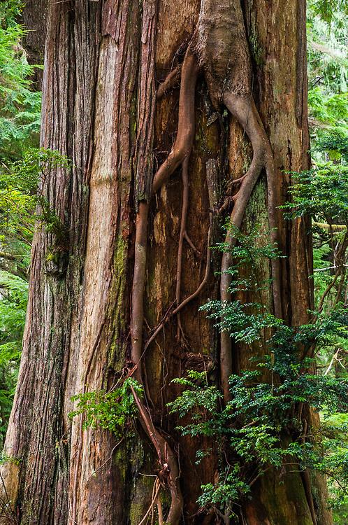 Western red cedar (Thuja plicata) and western hemlock (Tsuga heterophylla) old growth temperate rain forest, Olympic National Park, Washington, USA
