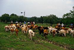 Cowboys herding the longhorn cattle