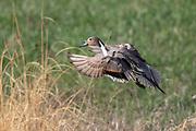 Drake pintail in breeding plumage