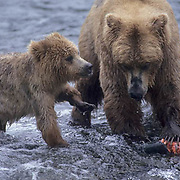 Alaskan brown bear (Ursus middendorffi) sow and cub feeding on salmon. Brooks River, Alaska