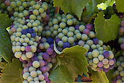 Close-up of wine grape clusters