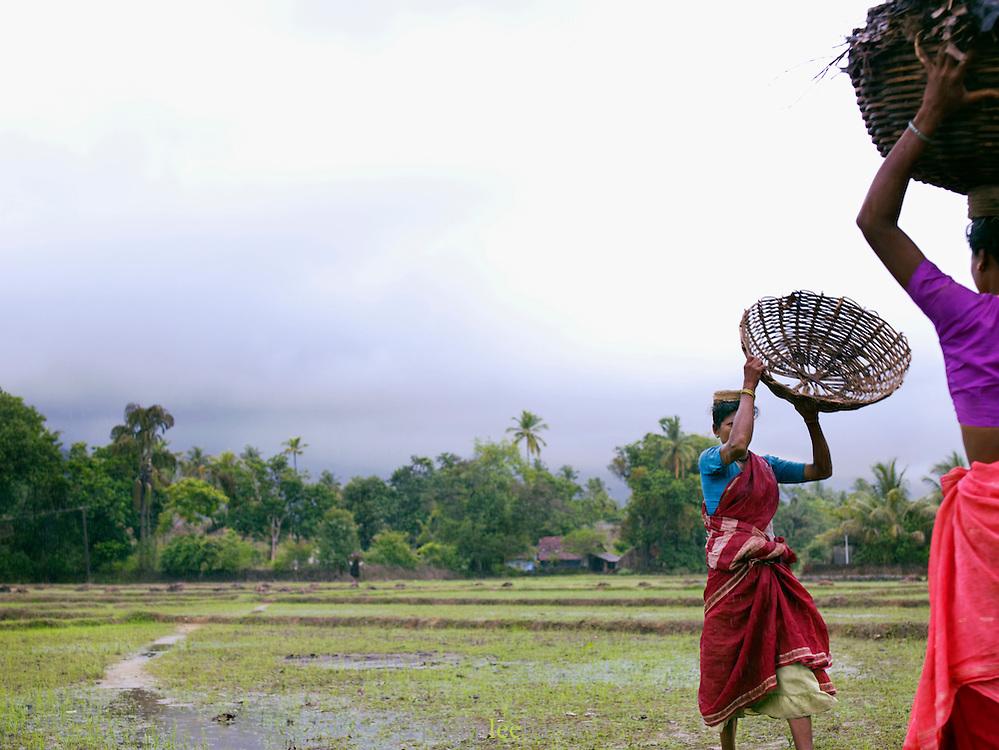 Women working in a rice paddy during the monsoon season, Cochin, Kerala, India