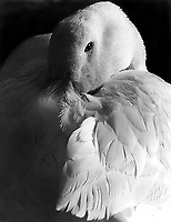 A white duck sits beside a pond in Centennial Park, Sydney with his beak hidden amongst his feathers.