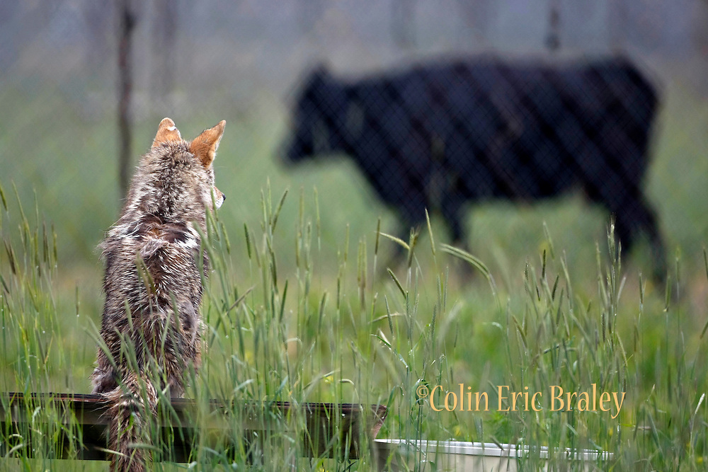 A coyote looks on from an enclosure as a cow walks past at the Millville Predator Research Facility in Millville, Utah, June 11, 2009.  The 165-acre lab, which works with about 100 coyotes to find non-lethal ways to prevent predators from preying on livestock, is the only research facility of its kind. (AP Photo/Colin Braley)