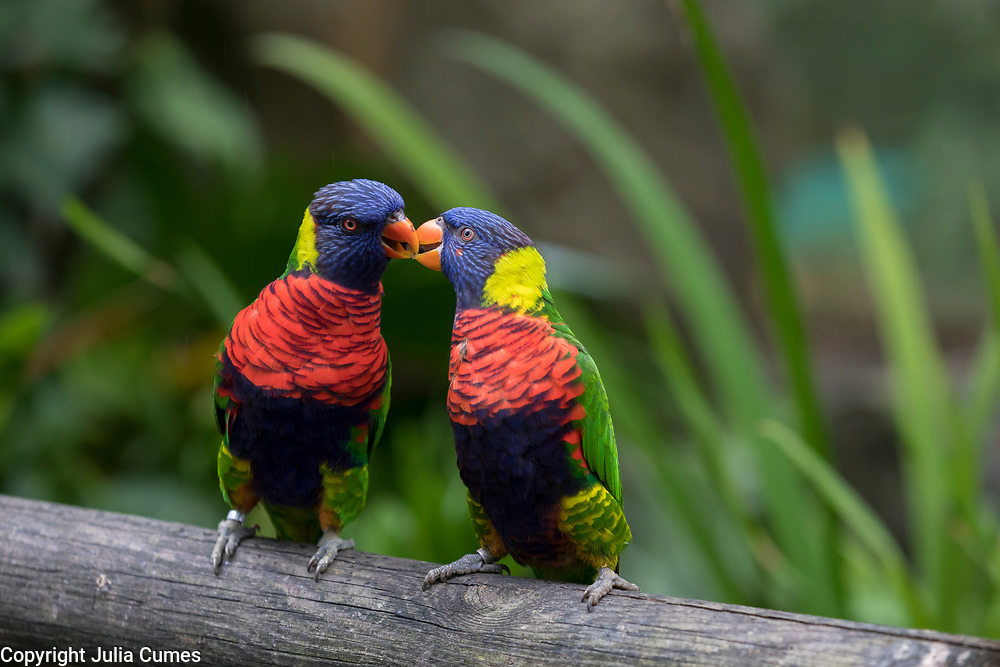 """A colorful pair of rainbow lorikeets """"kiss"""" on a log in the Jardin de Balata in Fort-de-France, Martinique."""