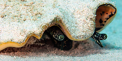 A Queen Conch (Strombus gigas) glides across the sand in Little Cayman.