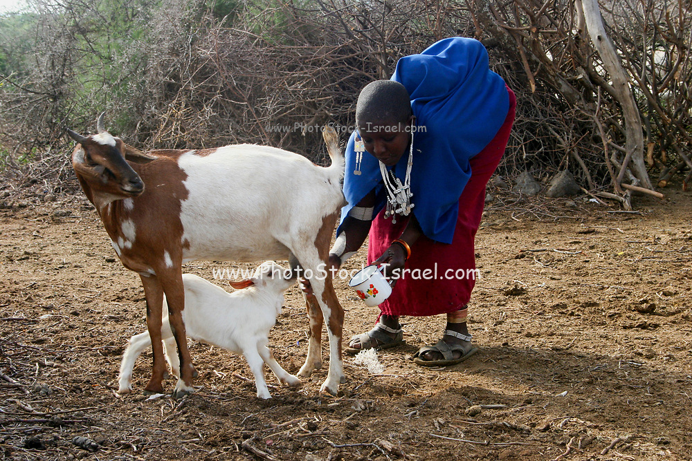 Maasai Woman milks a goat while sharing the milk with a kid. Maasai is an ethnic group of semi-nomadic people. Photographed in Tanzania