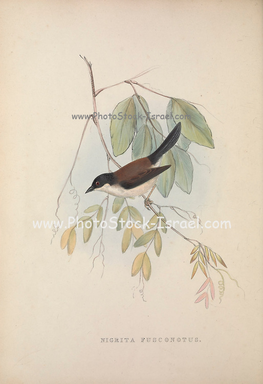 White-breasted Nigrita (Nigrita fusconotus) , from Zoologia typica; or, Figures of new and rare animals and birds described in the proceedings, or exhibited in the collections of the Zoological Society of London. By Fraser, Louis. Zoological Society of London. Published London, March 1847