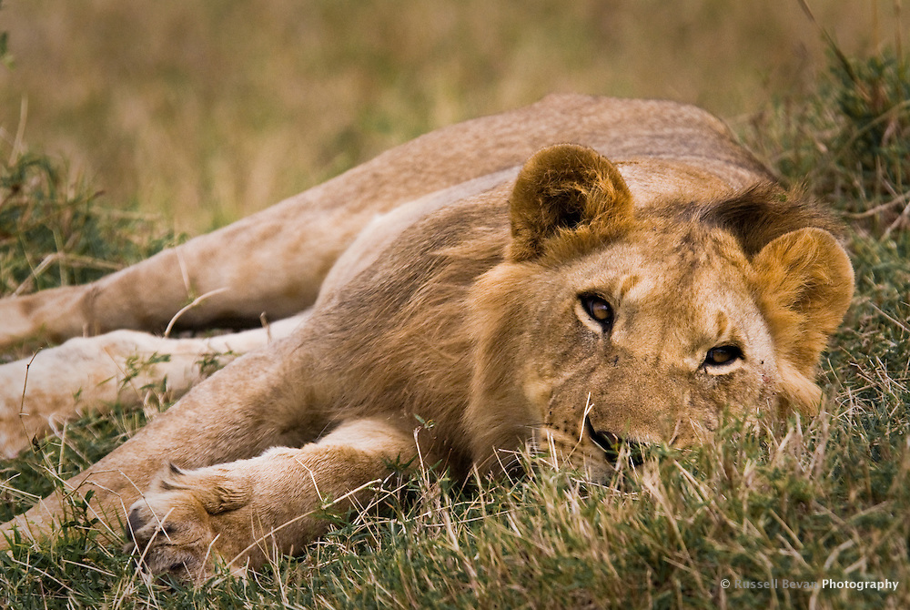 A young Lion resting in the Masai Mara National Park, Kenya