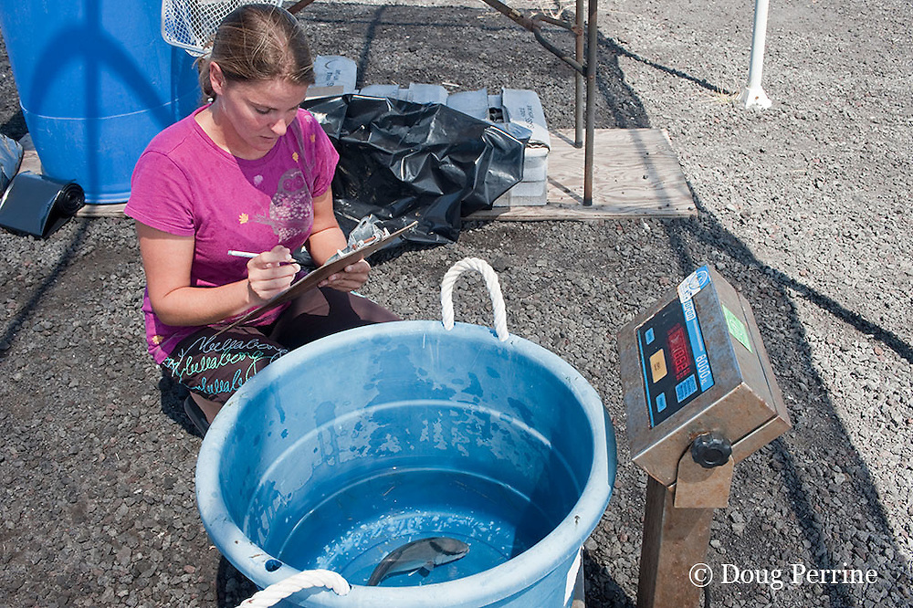 Research and Fish Health Manager Jennica Lowell records weights of young kona kampachi or almaco jacks, Seriola rivoliana, measuring growth on experimental feed, at Kona Blue Water Farms aquaculture research facility at NELHA, Kona, Hawaii