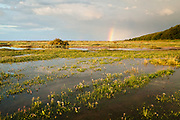 Sea lavender at high tide, Stiffkey. With a rainbow seen on the horizon from a passing rain storm. North Norfolk, East Anglia.