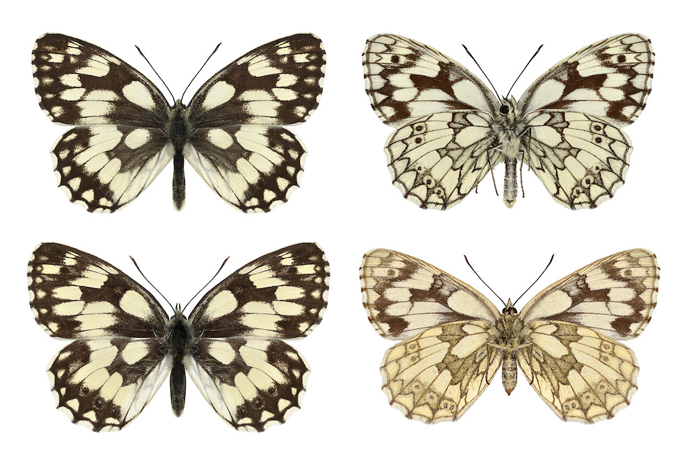 Marbled White - Melanargia galathea - male (top row) - female (bottom row). Wingspan 50mm. Unmistakable meadow butterfly with a rather sluggish flight; feeds on the flowers of knapweeds and thistles. Adult has distinctive black and white patterns on upperwings; pattern is repeated on underwing although markings are subdued and there is an overall yellowish suffusion. Flies July–August. Larva feeds on grasses; strictly nocturnal. Locally common in southeast and central-southern England. Favours undisturbed meadows and downs, often on chalk but also on neutral soils.