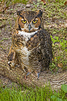You don't often see a great horned owl on the ground, like this one found near the beach just north of Tampa, Florida. One of the interesting things about these large owls is that they don't build their own nests. Instead, they will take over an already existing nest of another bird or animal such as a crow, squirrel, hawk or osprey if it finds that nest to be suitable for its needs.