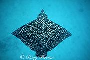 spotted eagle ray, Aetobatus narinari, Bimini, Bahamas ( Western Atlantic Ocean )