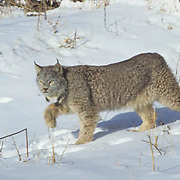 Canada Lynx, (Lynx canadensis) Adult in Snowy Rocky mountains. Montana. Winter. Captive Animal.