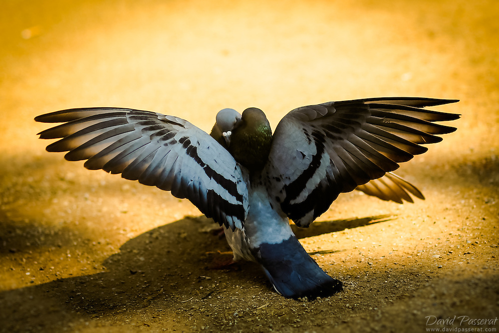 It's spring Love is in the air for these pigeons.