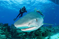 Tiger Shark and Diver under dive boat<br /> <br /> Shot in Bahamas