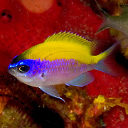 Sunshinefish, juvenile, inhabit deep reefs and walls in Tropical West Atlantic; picture taken Palm Beach, FL.