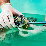 Scientists feed a green sea turtle with cancer - you can see cancerous growths around the eye - at the Manatee Conservation Center in Puerto Rico.