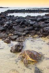 Tagged and released Green Sea Turtle, Chelonia mydas, resting at the piles of lava rocks of `Ai`Opio Fish Trap built by ancient Hawaiian, U.S. Marine Turtle Research, organized by researcher George Balazs PhD, NOAA National Marine Fisheries Service (NMFS), Hawaii Preparatory Academy (HPA) students and teachers (NOAA/HPA Marine Turtle Program), and ReefTeach volunteers at Kaloko-Honokohau National Historical Park, Kona Coast, Big Island, Hawaii, USA, Pacific Ocean