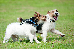Two black, white and tan Jack Russell terrier dogs running, chasing and play fighting in a park <br /> 9 Aug 2010 .Images © Paul David Drabble..