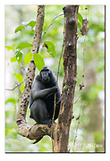 Crested Black Macaque in Tangkoko Nature Reserve, northern Sulawesi, Indonesia. Nikon D850, 300mm f2.8, EV+1.67, 1/160sec, ISO4000, Manual