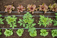 Rows of young tomatoe and lettuce plants in growing in a greenhouse