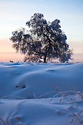 """Tree in the winter snow at Baraque Michel, Haute Fagnes, Belgium. (c) 2012 Dave Walsh This mage can be licensed via Millennium Images. Contact me for more details, or email mail@milim.com For prints, contact me, or click """"add to cart"""" to some standard print options."""