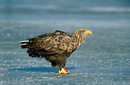 White-tailed Eagle Haliaeetus albicilla W 190-240cm. Immense raptor with long, broad and parallel-sided wings, and by relatively short, wedge-shaped tail. Surprisingly manoeuvrable, despite it size, and catches fish and waterbirds while hunting low over water. Sexes are similar. Adult has mainly brown plumage, palest on head and neck. At rest, white tail is often obscured by wings. Bill and legs are yellow. In flight from below, looks mainly dark except for paler head and neck, and white tail. Juvenile is similar to adult but looks darker overall and tail is uniformly dark. Subadult acquires adult plumage over successive moults; last immature feature to disappear is dark terminal band on tail. Voice Utters mournful whistling calls. Status Formerly just a rare visitor from mainland Europe but now reintroduced successfully to certain Scottish islands.