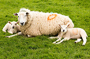 Sick ewe mother sheep with two lambs laying down on grass, Wiltshire, England, UK