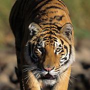 Bengel Tiger inhabits India. Captive Animal