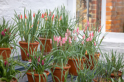 Display of species tulips at West Dean including Tulipa 'Tinka' AGM, T. 'Lady Jane', T. 'Little Princess', T. turkestanica, Tulipa clusiana var. chrysantha and T. 'Little Beauty'
