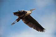 Cocoi Heron (Ardea cocoi)<br /> Rainforest<br /> Rewa River<br /> Iwokrama Reserve<br /> GUYANA. Argentina, Bolivia, Brazil, Chile, Colombia, Ecuador, French Guiana, Guyana, Panama, Paraguay, Peru, Suriname, Uruguay, and Venezuela. It is a non-breeding visitor to Trinidad and Tobago and a vagrant to the Falkland Islands and Tristan da Cunha.
