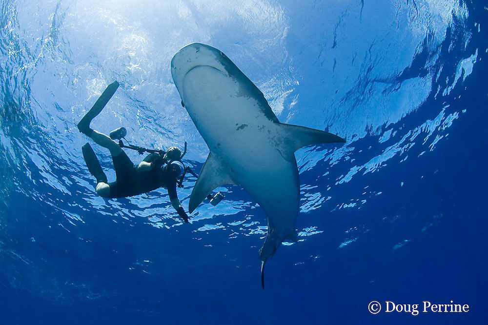 underwater photographer David Kearnes and large female tiger shark, Galeocerdo cuvier, North Shore, Oahu, Hawaii, USA ( Central Pacific Ocean ) MR 390