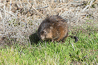 """Native to North America, muskrats are semi-aquatic rodents named for their musky smell and rat-like appearance. They are found in most of Canada and the United States, as well as some parts of Northern Mexico where they inhabit extremely variable habitats and altitudes. Muskrats are always associated with wetlands, whether that is a lake, swamp, pond, river, etc. Although the common name contains the word """"rat"""", it is taxonomically just a very large, semi-aquatic vole, and not related to any rat species. This one was found munching on vegetation at the edge of Tule Lake in Northern California, near the Oregon border."""