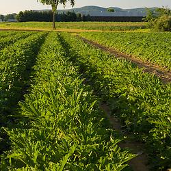A field of zucchini on a farm in Hadley, Massachusetts.