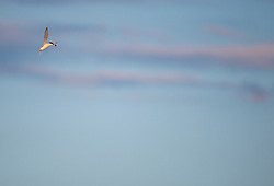 Little tern Sternula albifrons, adult in flight after recently catching a fish, Winterton-on-Sea, Norfolk, July