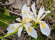 iris flowers growing in an urban year in Seattle, Washington, USA