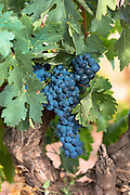 Black grapes on a vine along Ruta del Vino wine route in the Rioja region of Spain