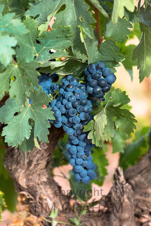 Black grapes on a vine along Ruta del Vino wine route in the Rioja region of Spain
