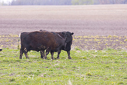 Cattle black in color graze on grass in a fenced pasture bordered by a small stand of timber.