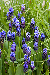 Muscari latifolium - Grape hyacinth