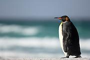 Mit einer Höhe von mehr als 90 cm ist der Königspinguin (Aptenodytes patagonicus) der zweitgrößte Pinguin hinter dem über 110 cm großen Kaiserpinguin. | With its body length of more than 90 cm the king penguin (Aptenodytes patagonicus) is the second largest penguin species, topped only by the emperor penguin with a size of more than 110 cm.