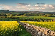 A vibrant rapeseed crop glows in the evening light above Ashford in the Water, Derbyshire. Curbar Edge & Baslow Edge can be seen in the distance. Spring in the Peak District National Park. May, England, UK.