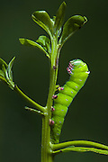 Hawkmoth Caterpillar (Erinnyis elloencantada) on Button Mangrove.<br /> Puerto Ayora, Santa Cruz Island, GALAPAGOS ISLANDS<br /> ECUADOR.  South America