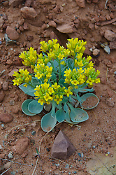 Rydberg's Twinpod (Physaria acutifolia), Arches National Park, Utah, US